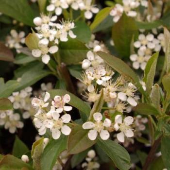 Aronie - Aronia arbutifolia