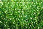 Eulalie panachée jaune vert