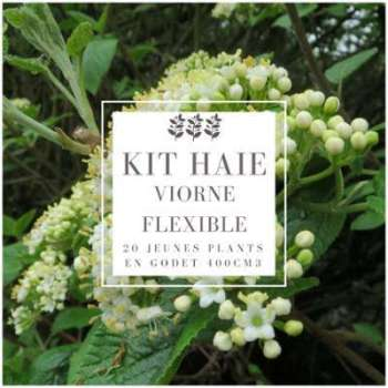 Kit Haie Viorne flexible (Viburnum