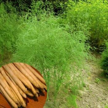 Asperge - Asparagus officinalis