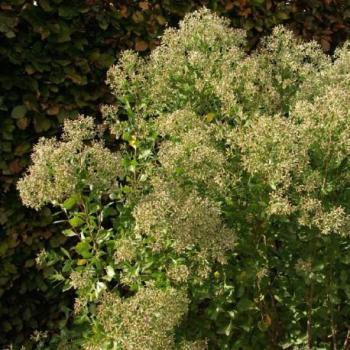 Baccaride à feuilles d halime