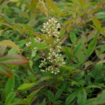 Bambou sacré - Nandina domestica