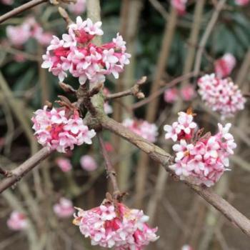 Viorne - Viburnum bodnantense