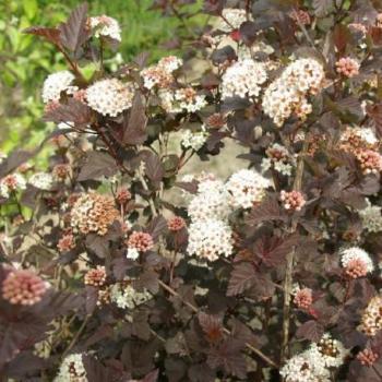 Physocarpe - Physocarpus opulifolius