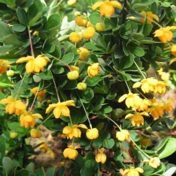 Epine-vinette - Berberis buxifolia