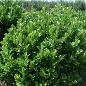 Laurier cerise - Prunus laurocerasus