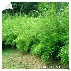 Bambou Fargesia rufa Fargesia
