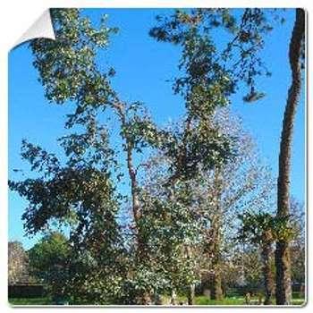 Eucalyptus de Gunn Eucalyptus