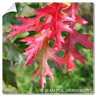 Chêne écarlate Quercus coccinea
