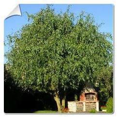 Saule pleureur tortueux Salix
