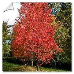 Erable rouge Acer rubrum