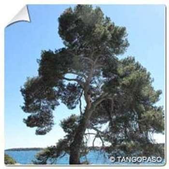 Pin d Alep Pinus halepensis