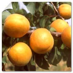 Abricotier Bergeron Prunus