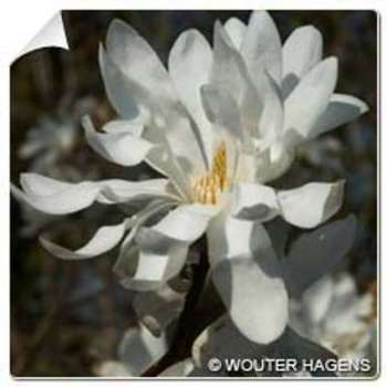 Magnolia étoilé Magnolia stellata