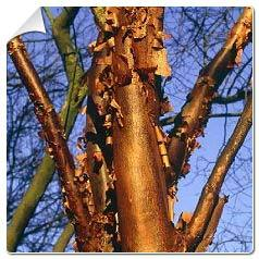 Erable griseum Acer griseum