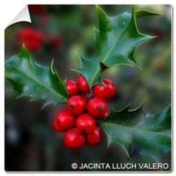 Houx Alaska Ilex aquifolium