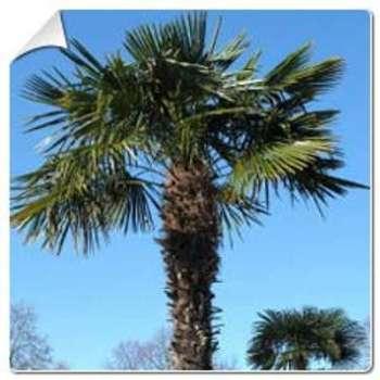 Palmier chanvre Trachycarpus
