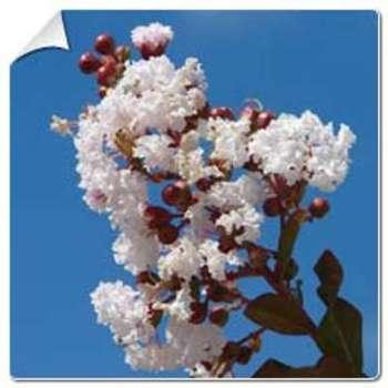 Lilas d été blanc Lagerstroemia