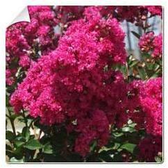 Lilas d été rose fuchsia Lagerstroemia