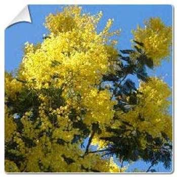 Mimosa Gaulois Astier Acacia
