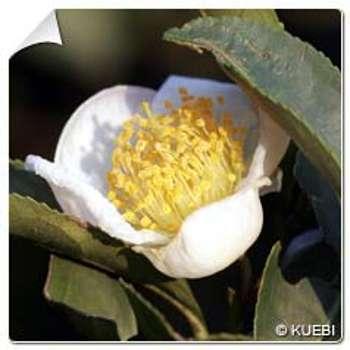 Théier Camellia sinensis