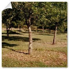 Chêne pubescent Truffier -