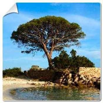 Pin parasol Pinus pinea