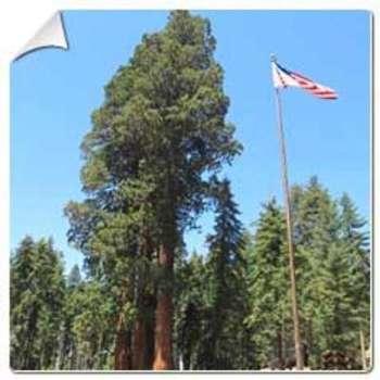 Séquoia géant Sequoiadendron