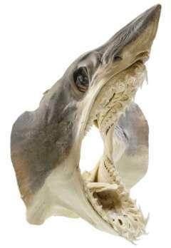 Tête de requin mako naturalisée