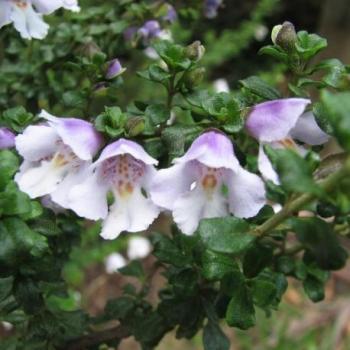 Arbuste à menthe - Prostanthera