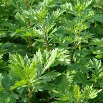 Armoise - Artemisia vulgaris