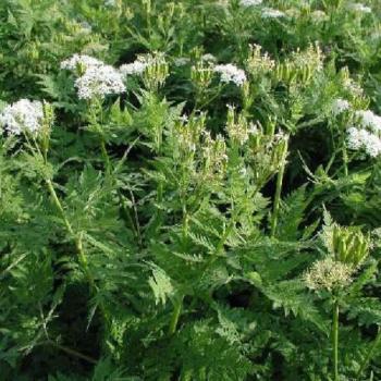 Arkopharma c ylang ylang cananga odorata for Plante ylang ylang