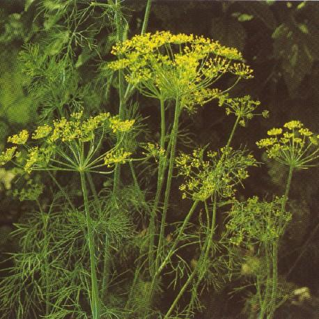 Aneth - Anethum graveolens