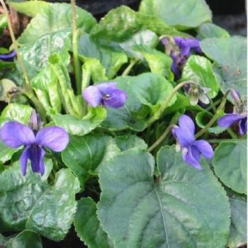 Violette odorante - Viola