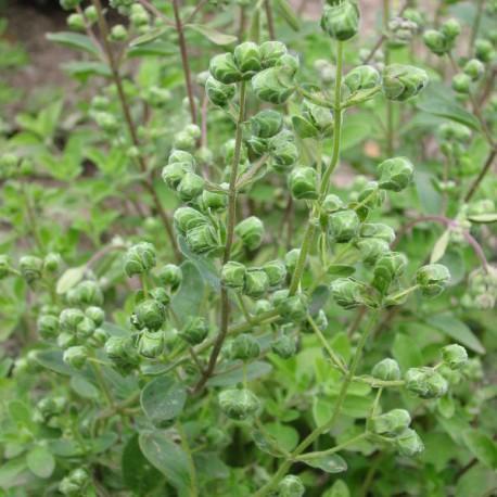 Catgorie plante dextrieur page 8 du guide et comparateur d for Plante odorante