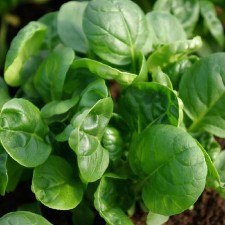 Tatsoi - Brassica r var rosularis