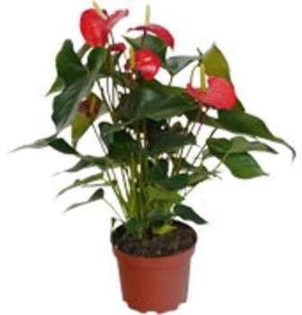 Anthurium à fleurs rouges