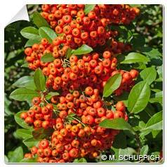 Buisson ardent Rouge Pyracantha