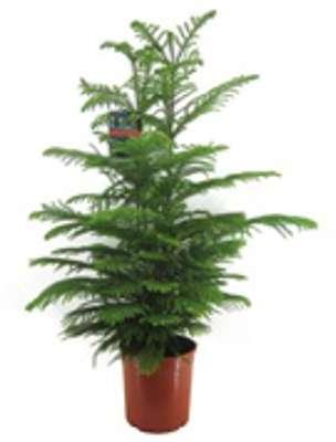 Pin de Norfolk Araucaria heterophylla