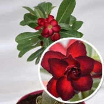 Rose du Désert - Floraison