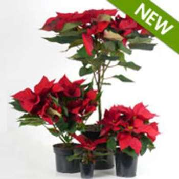 Poinsettia rouge Etoile de