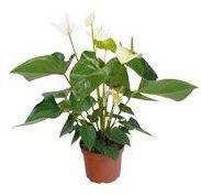 Anthurium à fleurs blanches