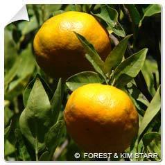 Mandarinier Citrus reticulata