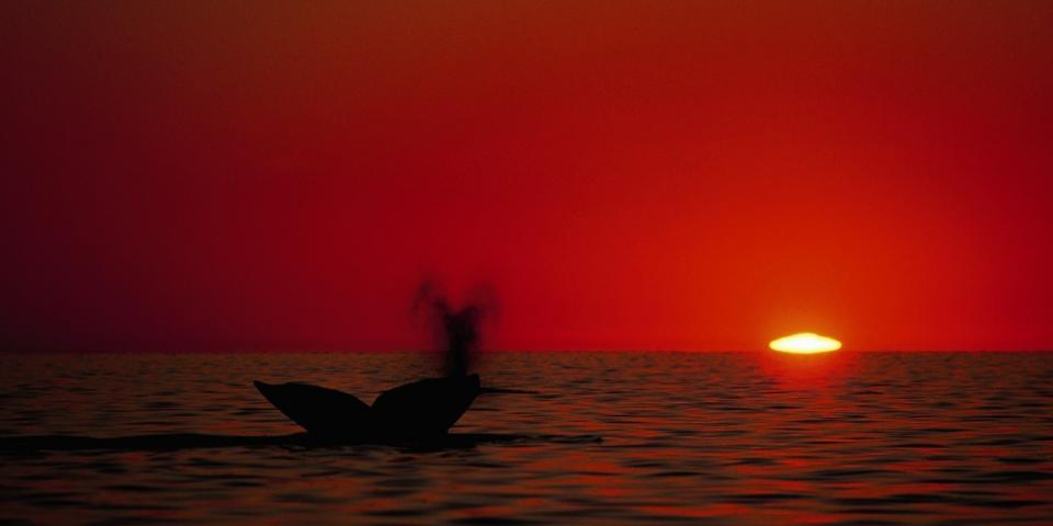 Affiche Baleines grises Mexique