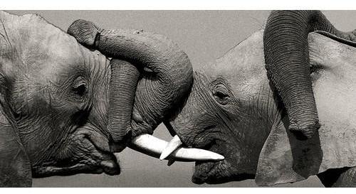Affiche léphants d Afrique