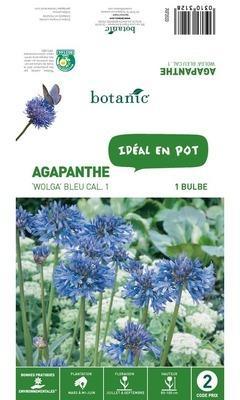 Bulbe d Agapanthe Wolga -