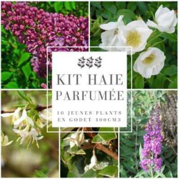 Kit Haie Parfumée - 10 Jeunes