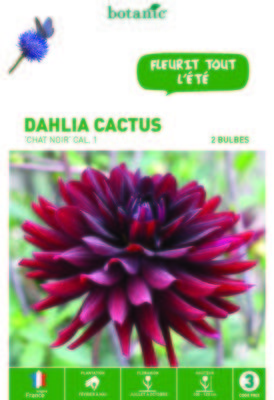 Dahlias à fleurs de cactus
