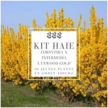Kit Haie Forsythia (Forsythia