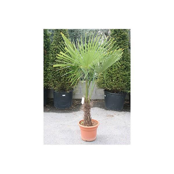 Cat gorie plante dext rieur page 4 du guide et comparateur - Palmier d exterieur ...